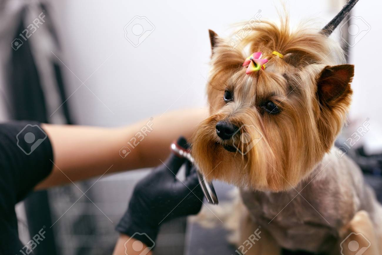 Dog Gets Hair Cut At Pet Spa Grooming Salon. Closeup Of Dog Face While Groomer Cutting Hair With Scissors. High Resolution - 108169417