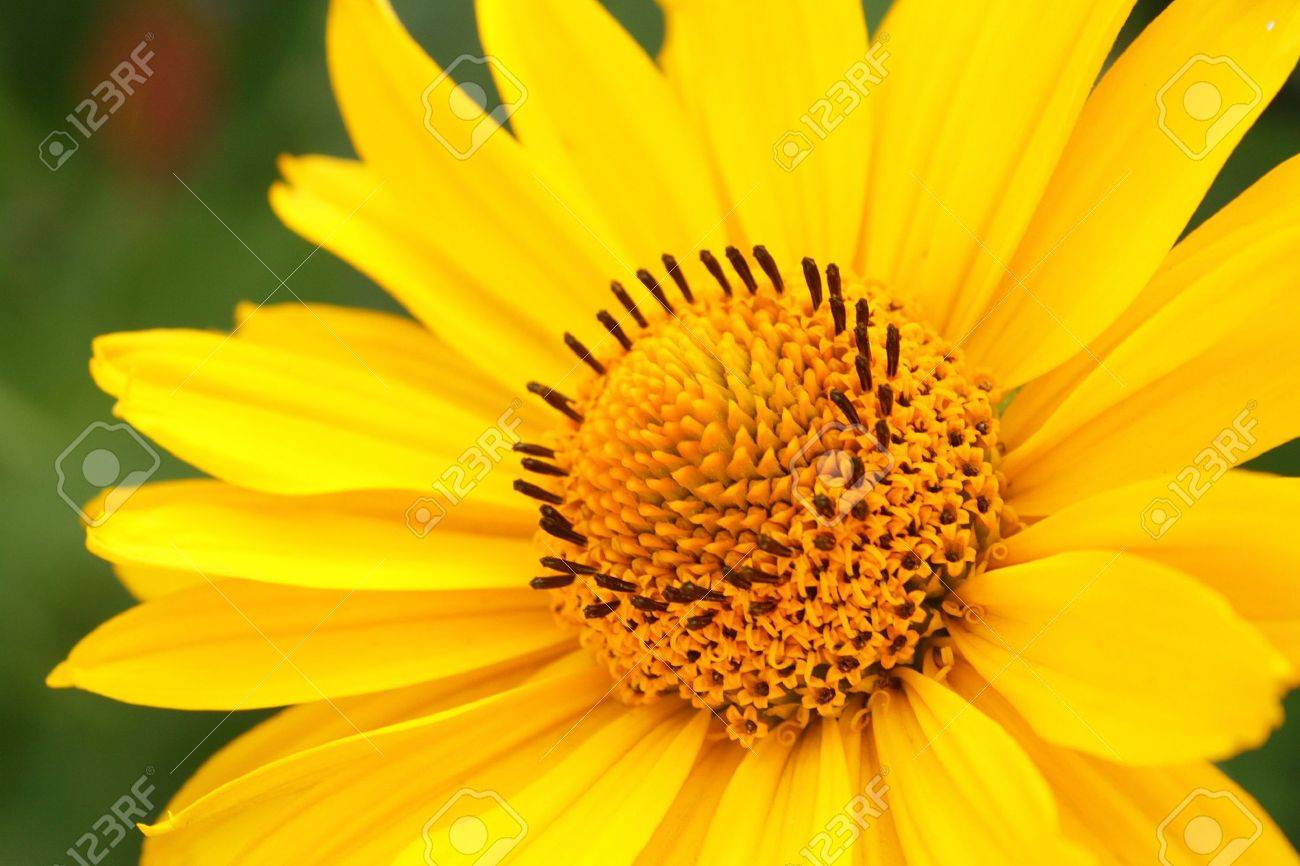 Closeup photo of yellow arnica flower in the garden Stock Photo - 7419512