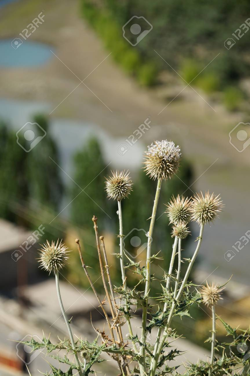 Spring Flowers At Kargil In 7 July 2014ladakh Northern India Stock