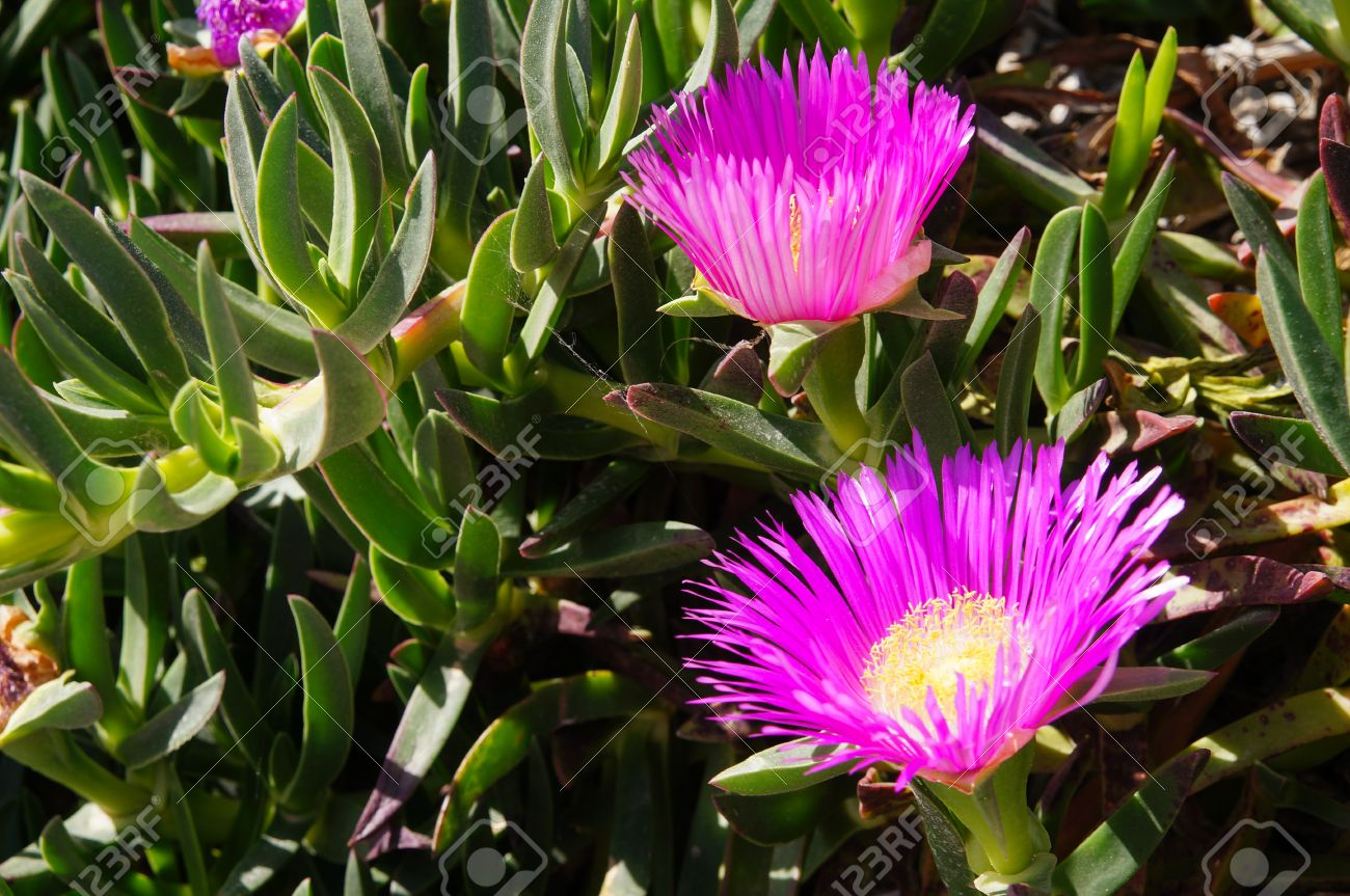 Carpobrotus Succulent Plant With Pink Flowers Stock Photo Picture