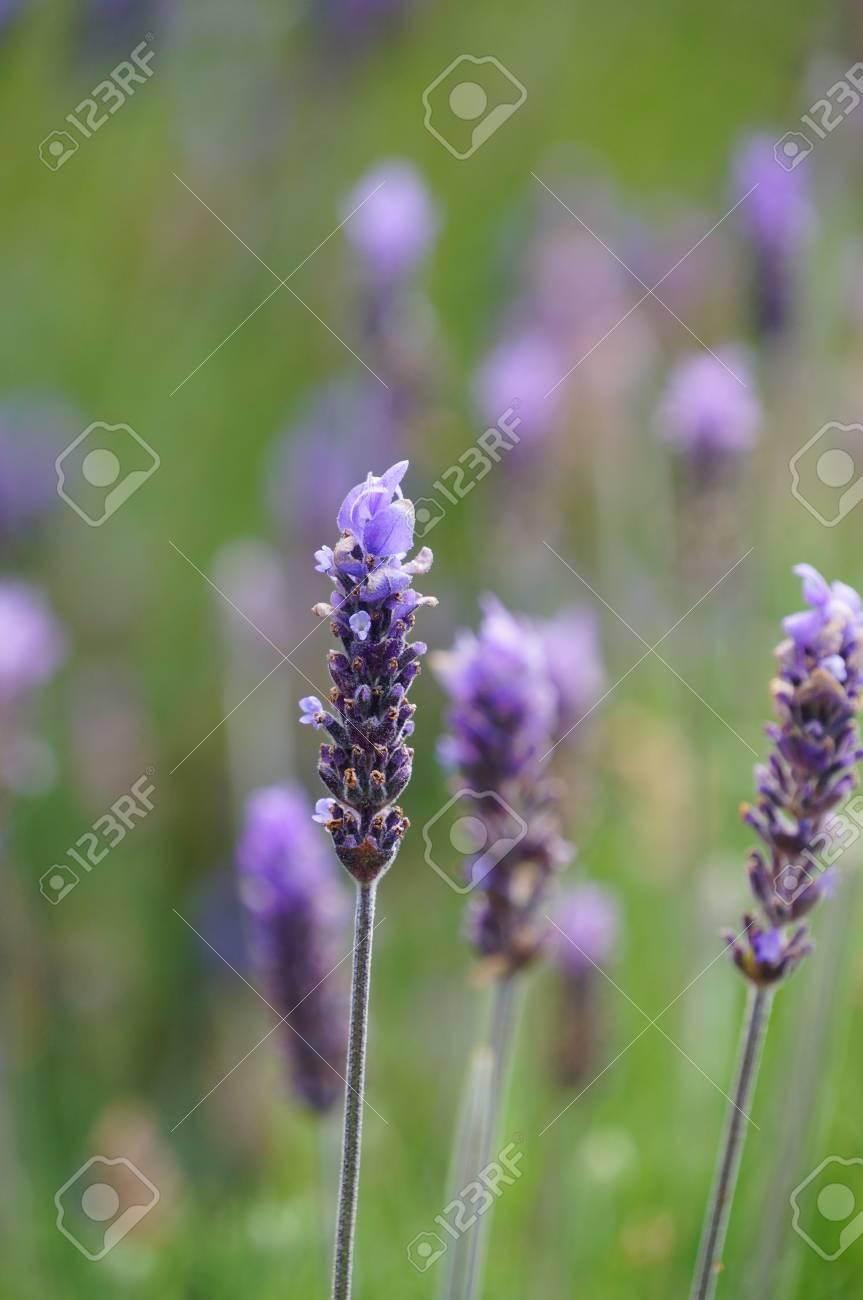 Belles Fleurs De Lavande A Cape Town Afrique Du Sud Banque D