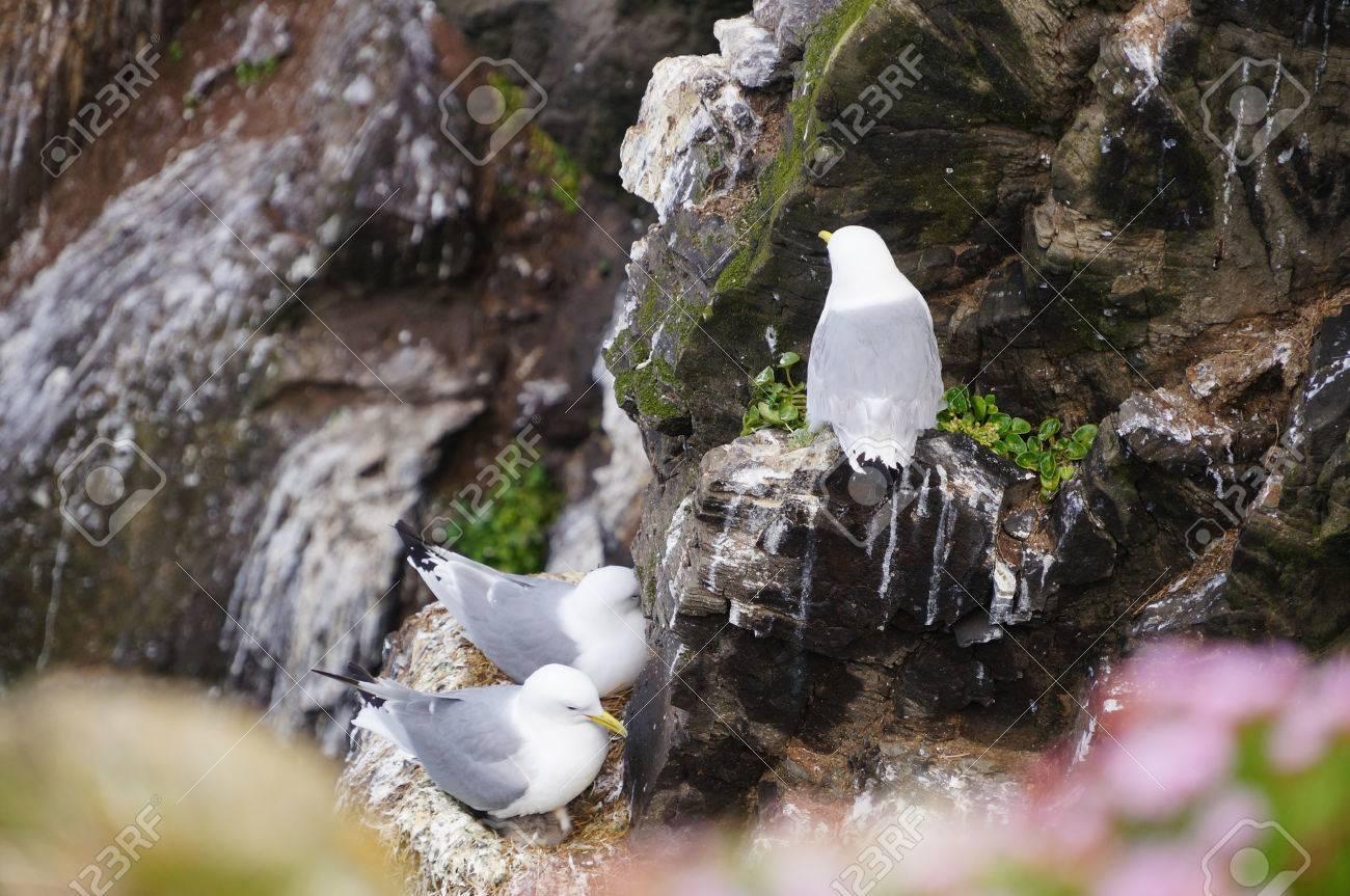 Seagulls nest on Latrabjarg cliffs in Iceland