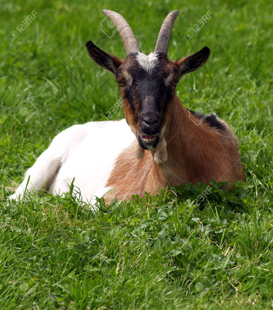 Horned Goat Symbol Of The Devil Stock Photo Picture And Royalty