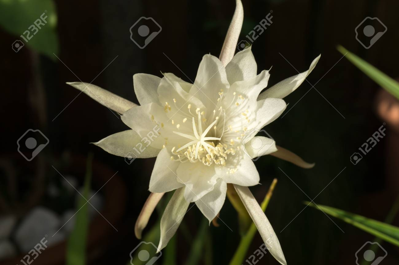Macro profile backlit white flower queen of night epiphyllum stock macro profile backlit white flower queen of night epiphyllum oxypetalum nocturnal very fragrant flower blooms mightylinksfo