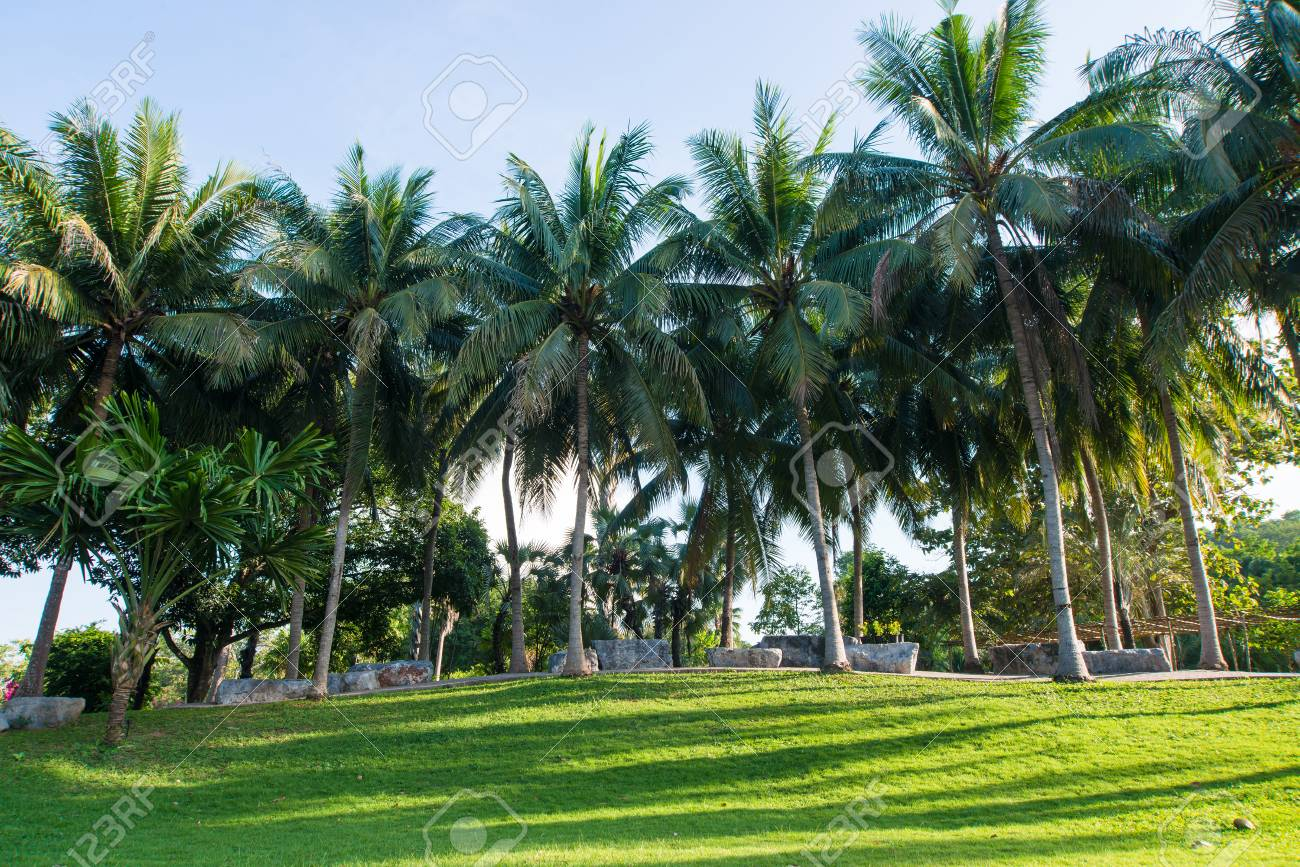 Greensward And Coconut Trees In The Garden Stock Photo Picture