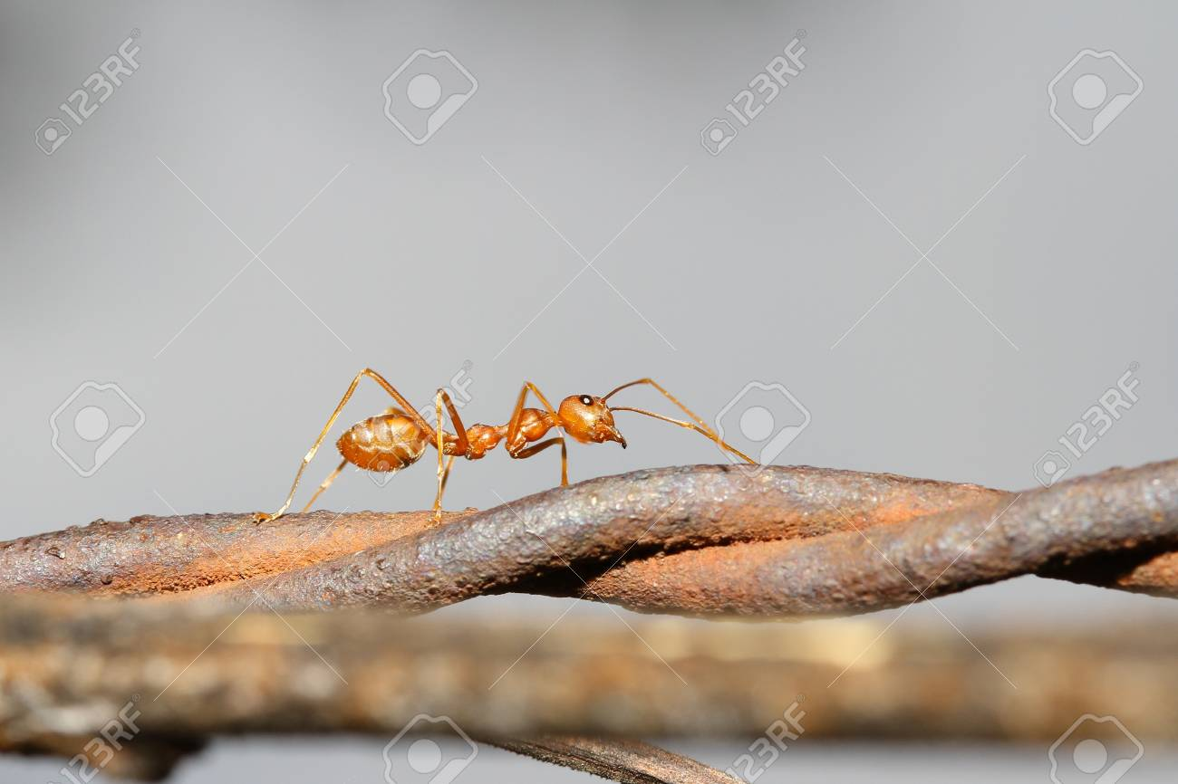 Closeup Of Red Ant Running On Barbed Wire Fence In Garden Stock ...