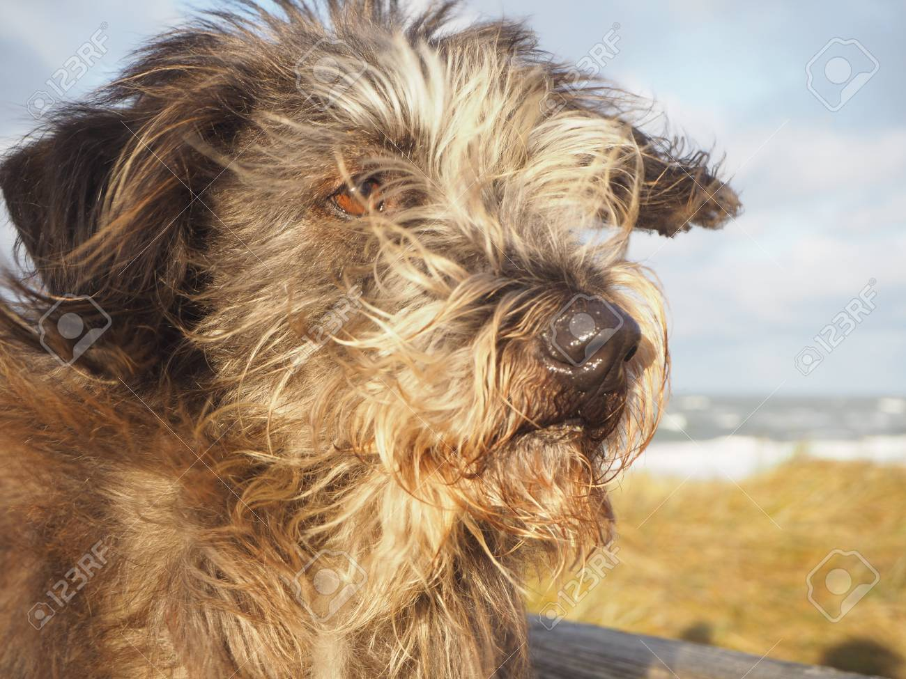 Portrait Of Mixed Breed Long Haired Dog With Hair And Ears Blowing