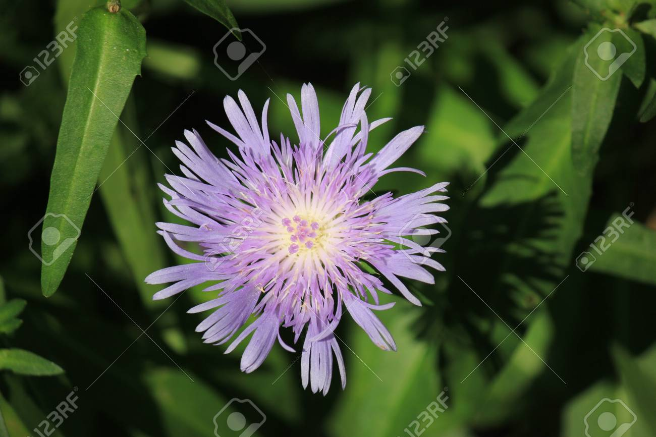 A pretty lavender flower royalty free stok fotoraf resimler a pretty lavender flower stok fotoraf 26348276 mightylinksfo