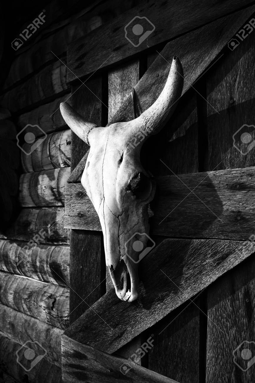 A bull skull hanging on a wooden wall black and white