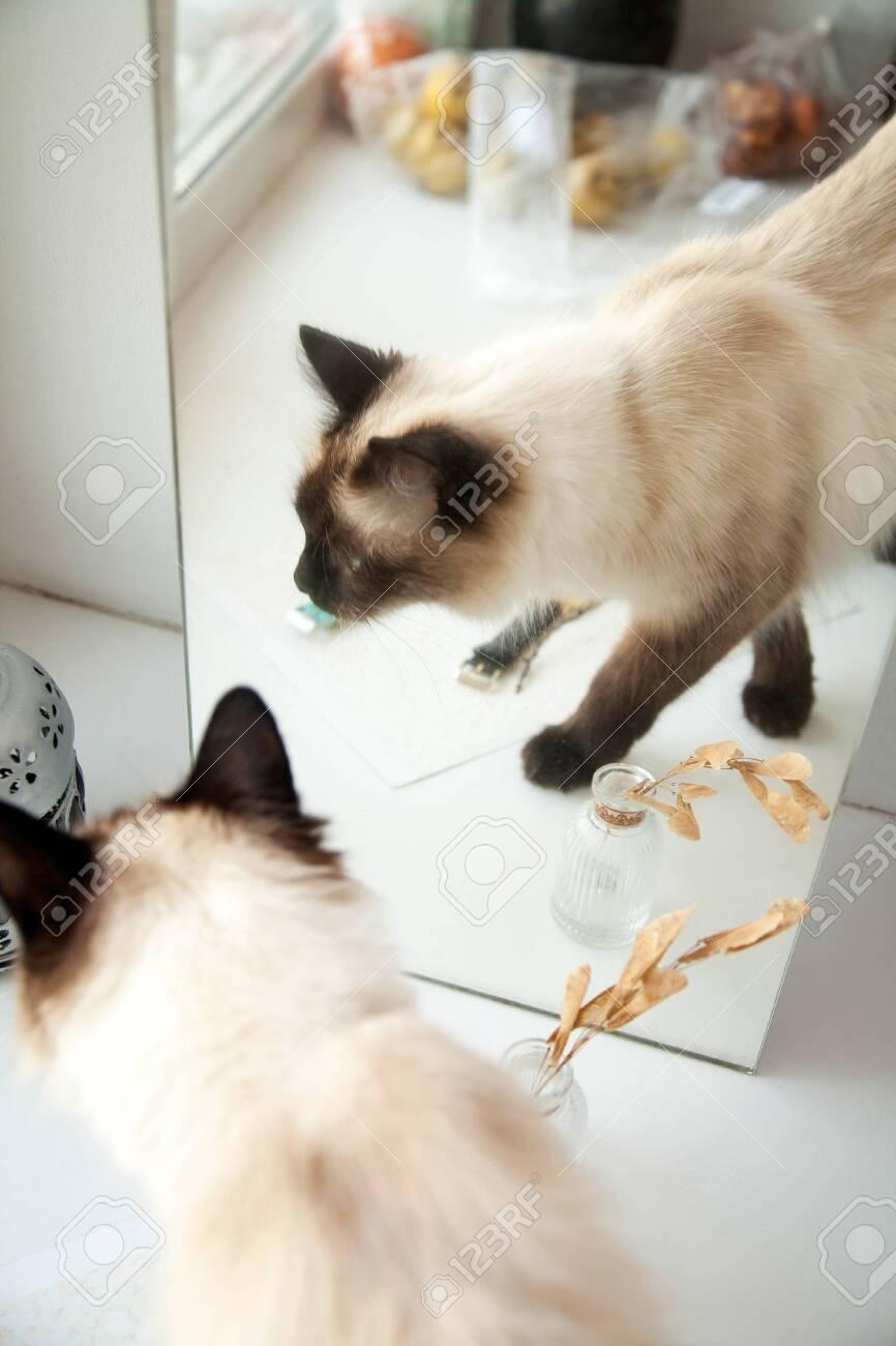 Cute Longhair Cat Walking In Front Of A Mirror Elegant Balinese