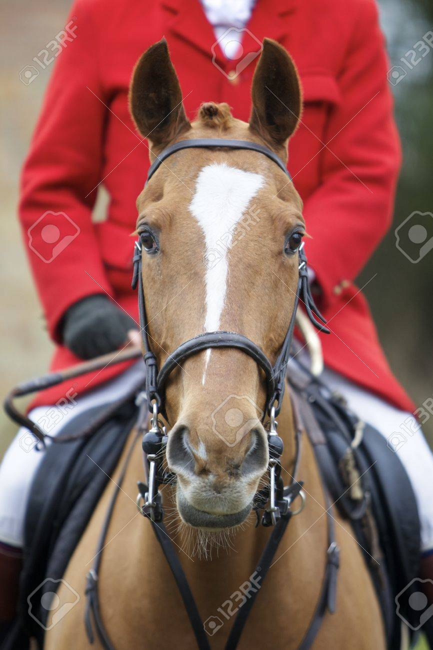 Front on head shot of a horse, the rider is wearing a hunting jacket - 15320963