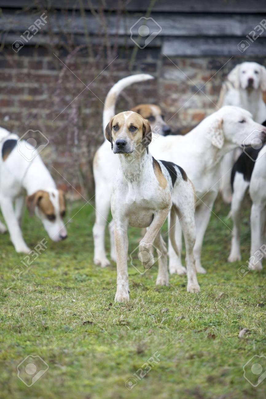 A hunting hound - 15320964