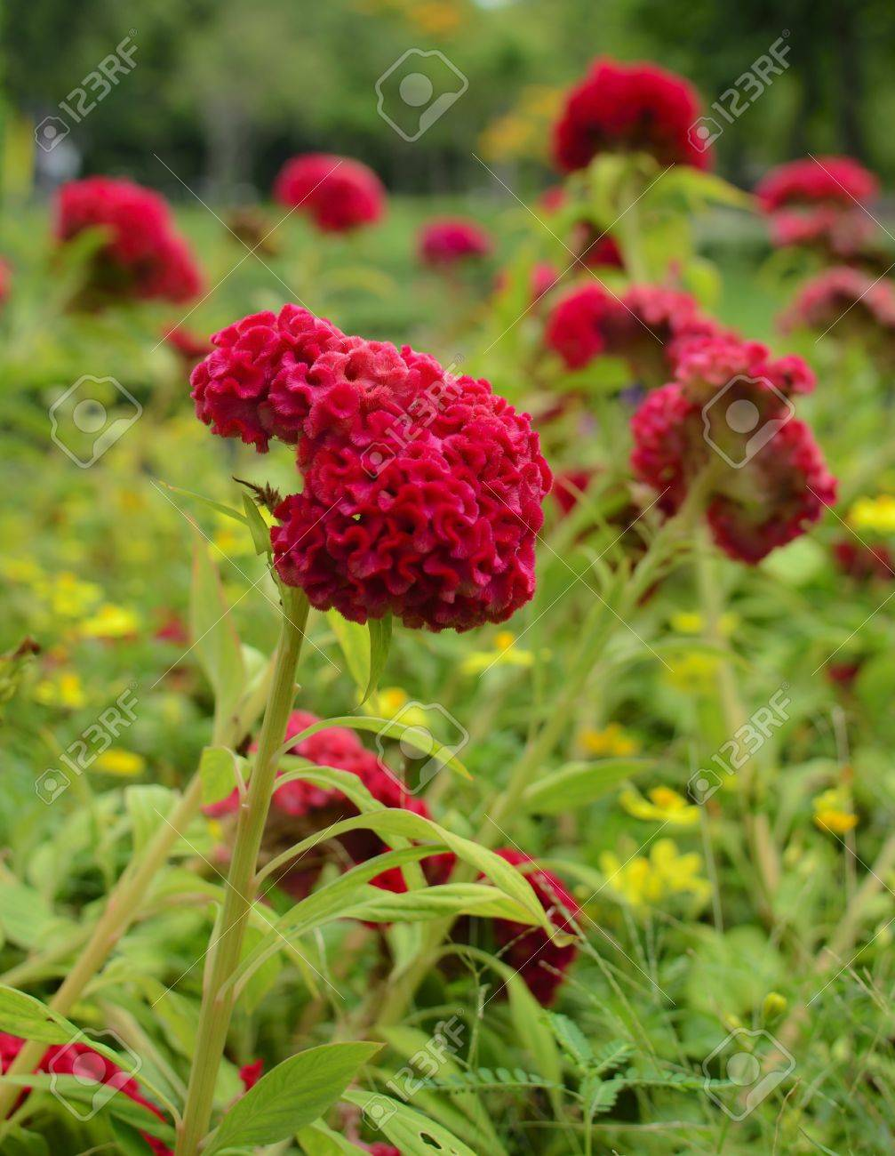 Beutiful celosia argentea red beutiful flower stock photo, picture and