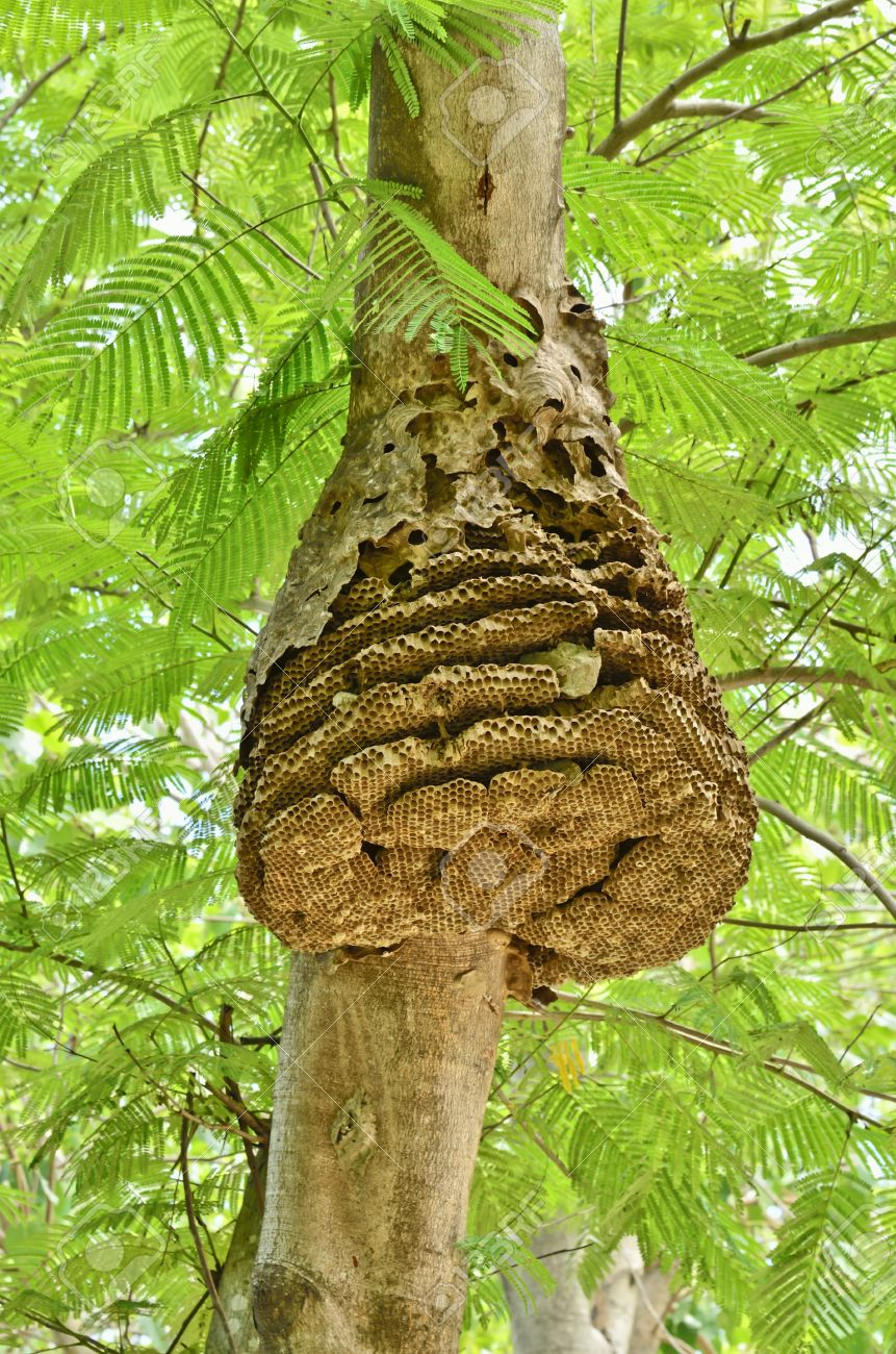 Wasp Nest On Tree In Forest Stock Photo, Picture And Royalty Free ...