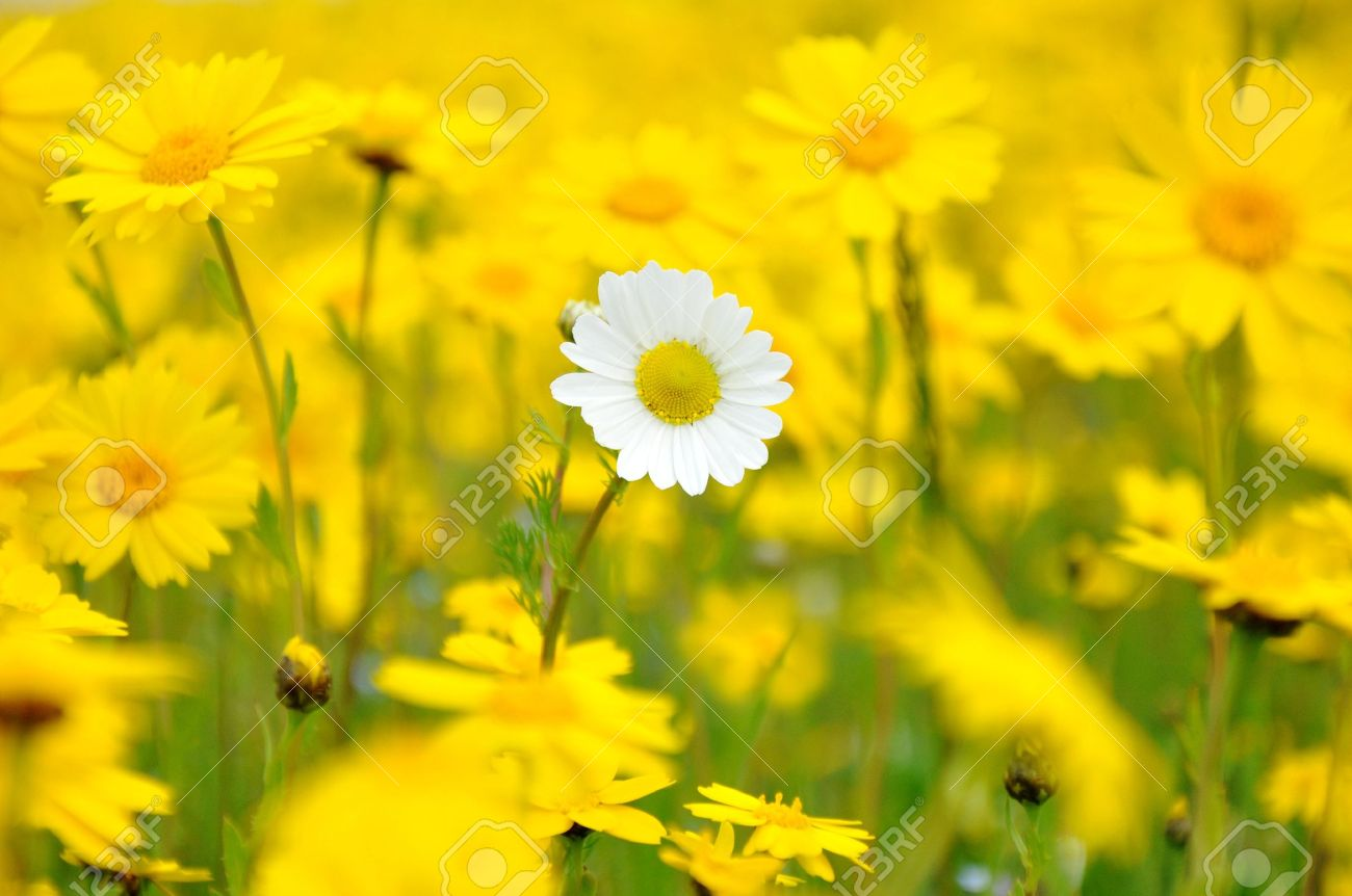 A Single White Fllower In A Field Of Yellow Flowers Stock Photo