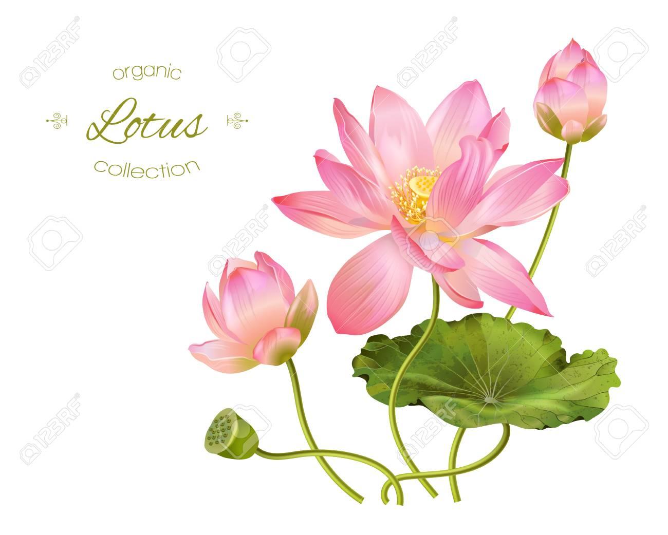 Lotus realistic illustration - 70077447