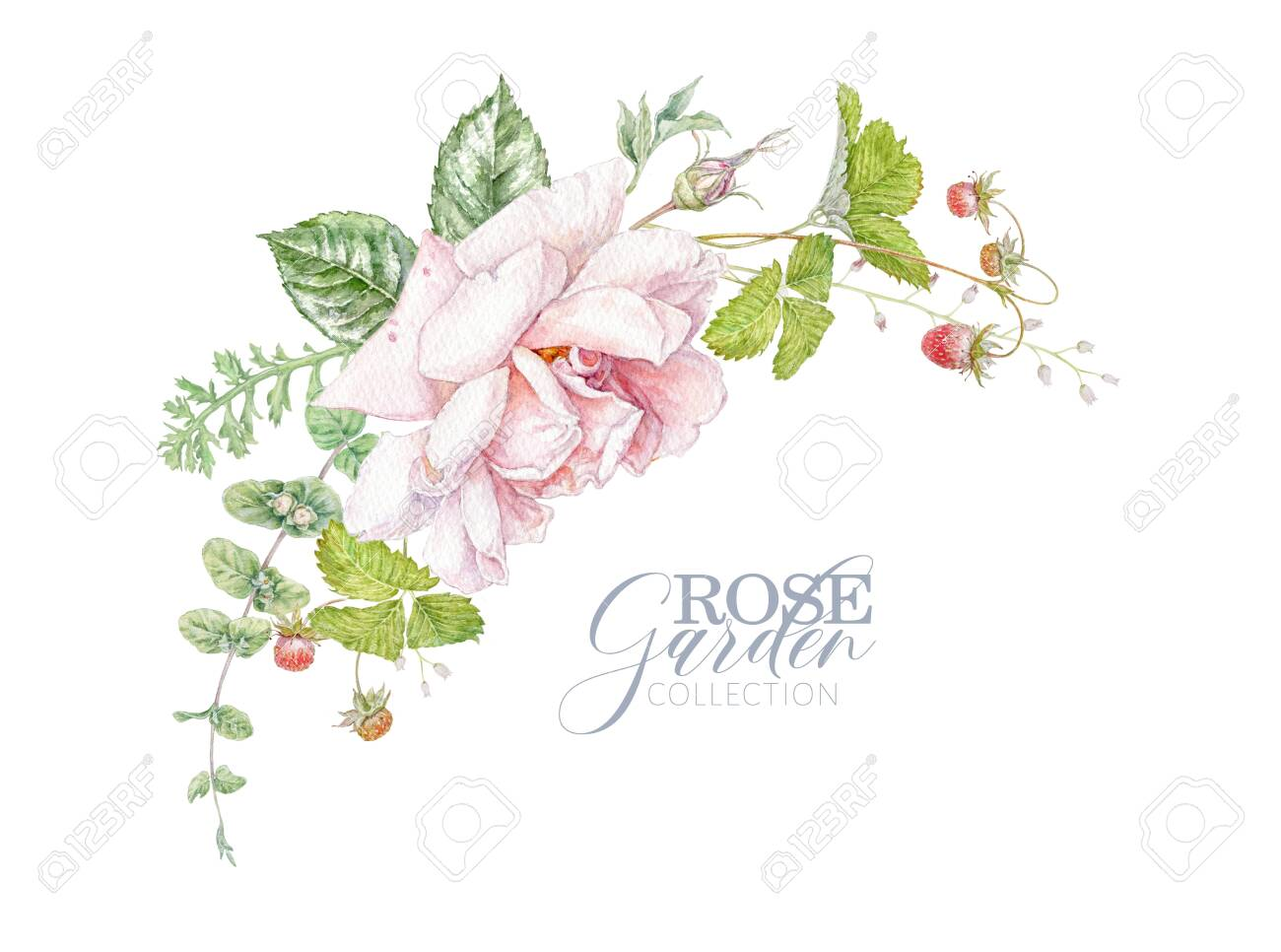 Watercolor hand drawn composition with pink rose, berries and leaves isolated on white background. Floral arrangement for natural cosmetics, women products, summer background, greeting design - 140287617