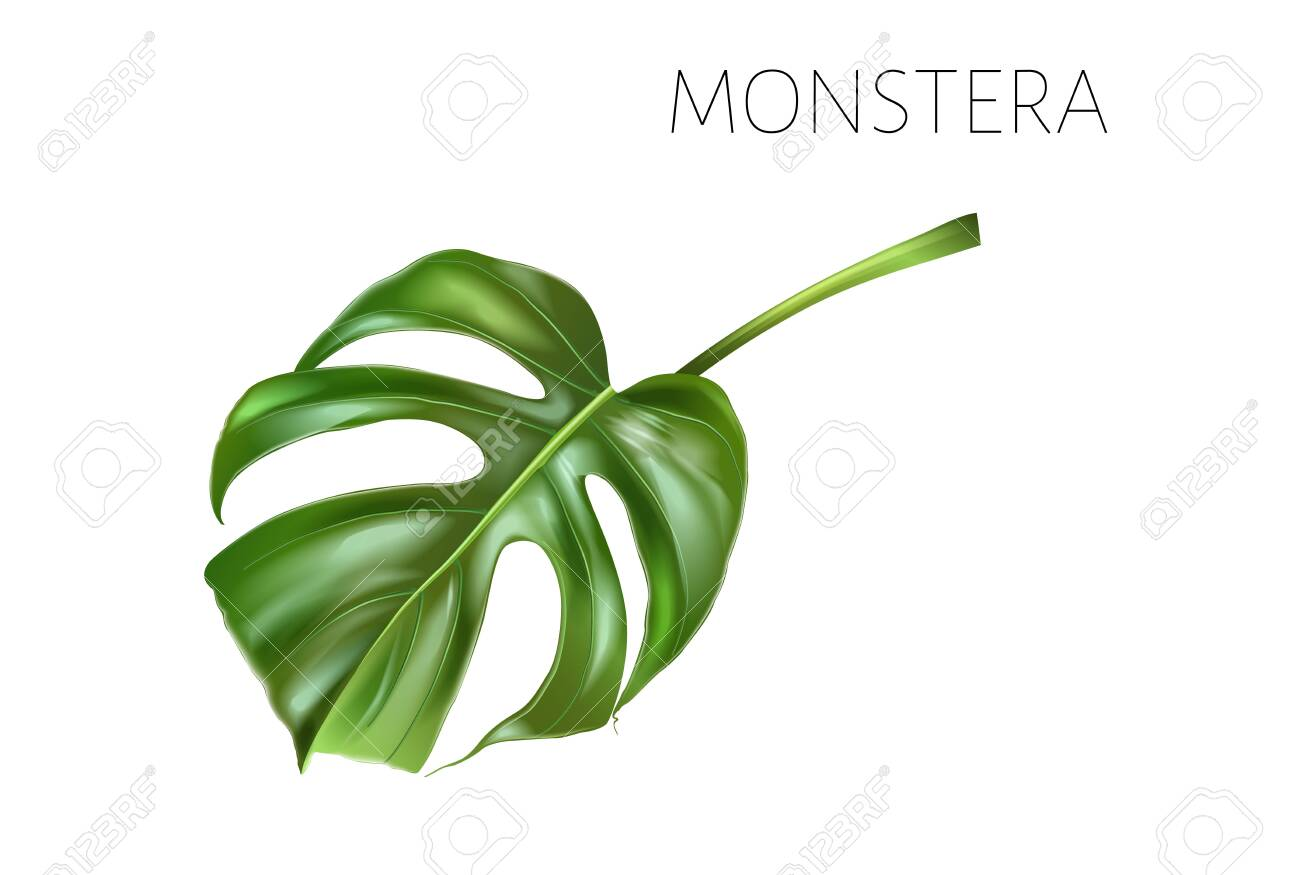 Vector monstera leaf isolated on white - 152995639