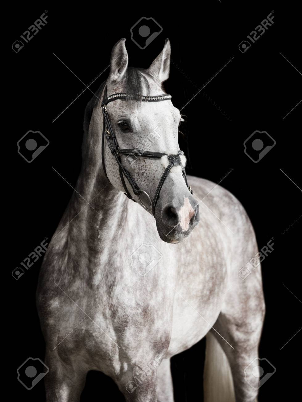 A White Horse With Bridle Against Black Background Stock Photo Picture And Royalty Free Image Image 85084784