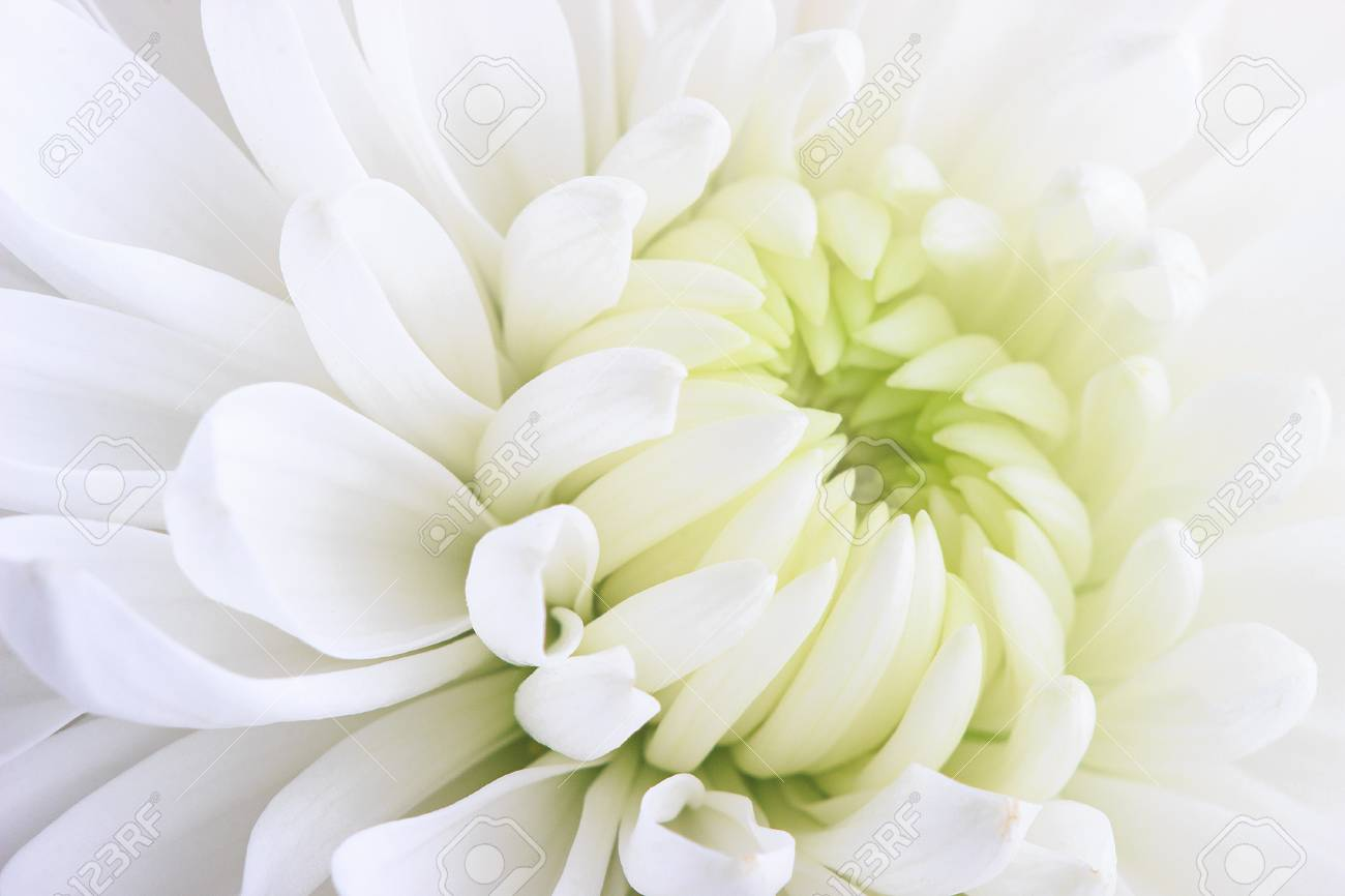 A White Chrysanthemum Flower Close Up On A White Background Stock