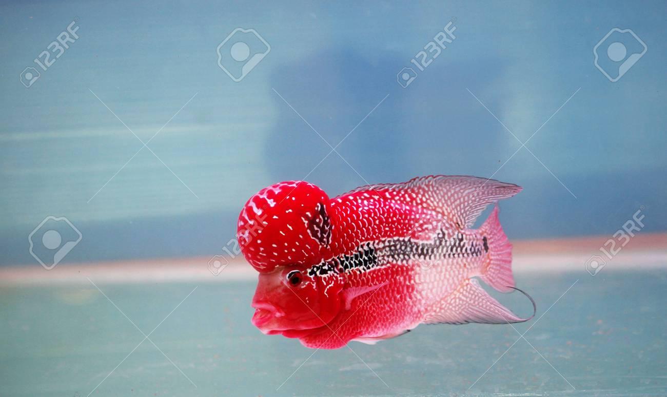 flowerhorn cichlid fish in fish tank