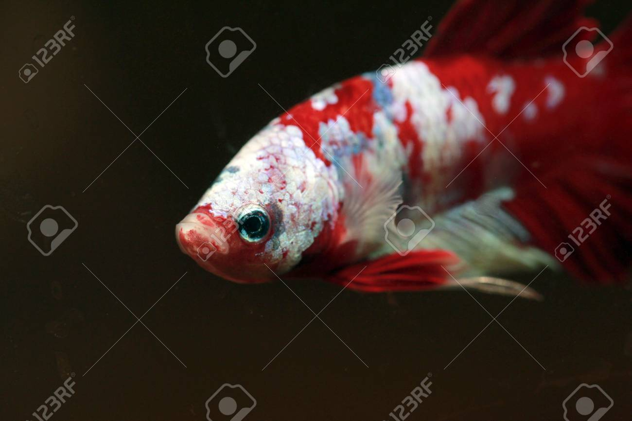 Colorful Betta Fish,fancy Fighting Fish Stock Photo, Picture And ...
