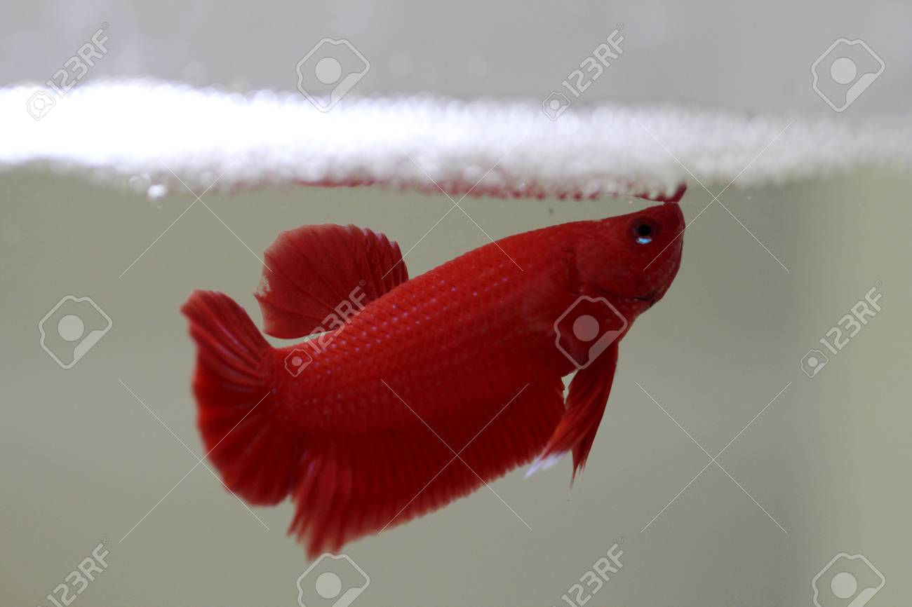 Red Color Betta Fish Stock Photo, Picture And Royalty Free Image ...