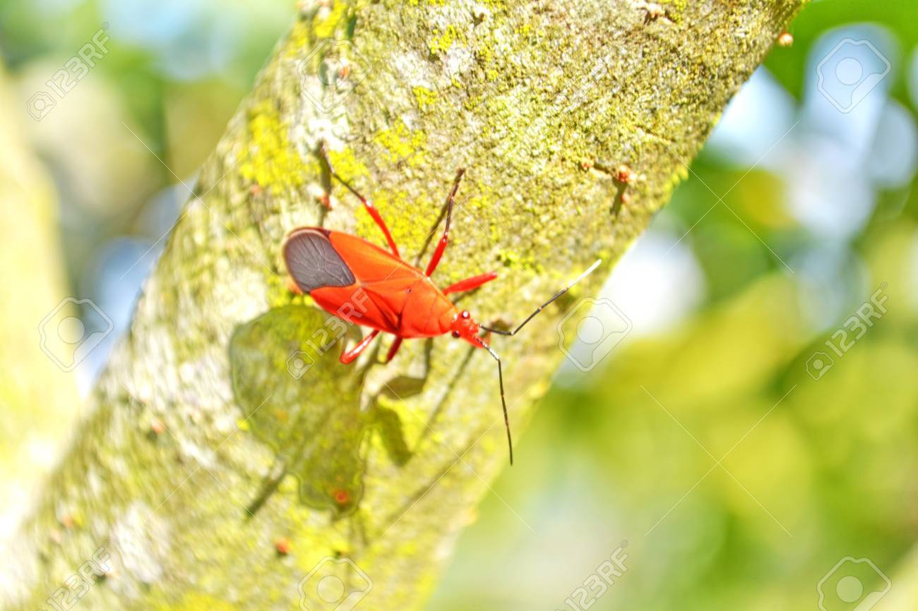 Notobibus meleaogris ,Caterpillar, Arachnid roll stew Insect,  Insect filters Stock Photo - 23174533