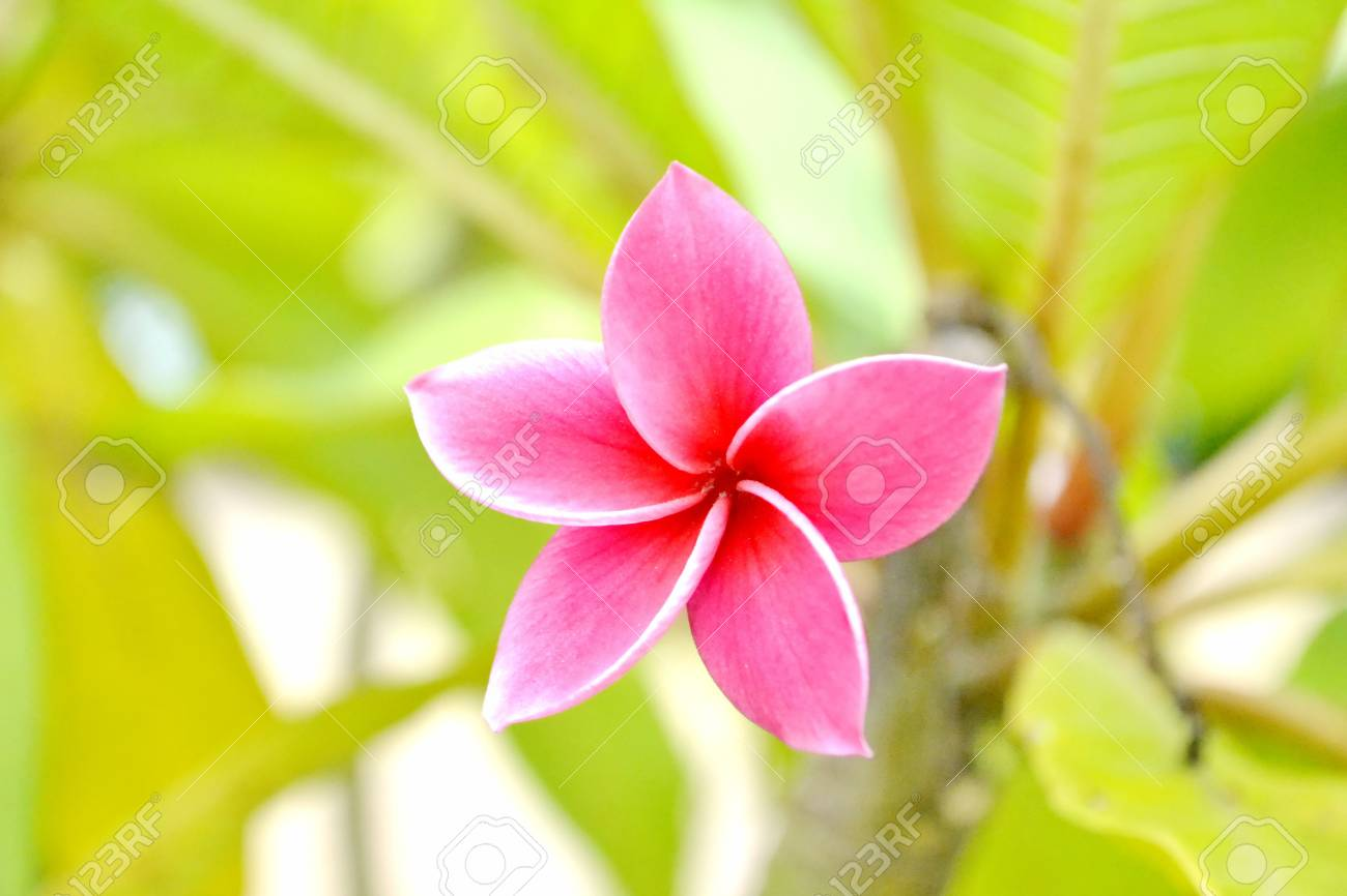 Pink Frangipani Flowers On The Tree Stock Photo Picture And Royalty