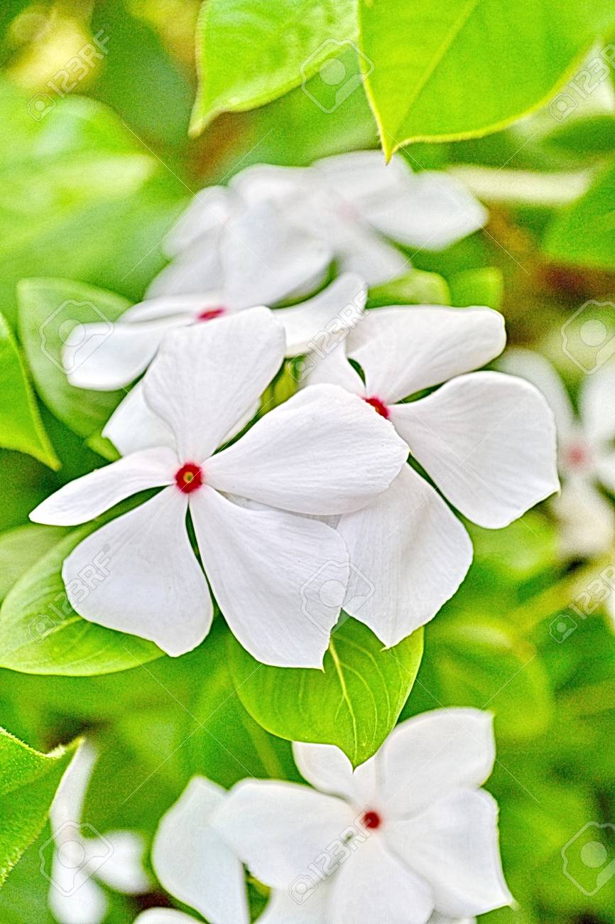 Phangphuai Flowers White Vinca Flower Stock Photo Picture And