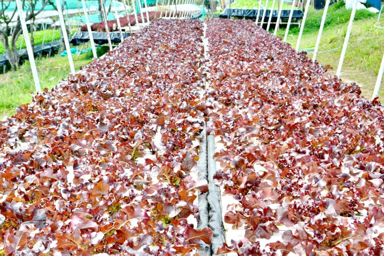 Hydroponik Gemuse Pflanzen Der Gemuse Ohne Boden Wachsen Sie In