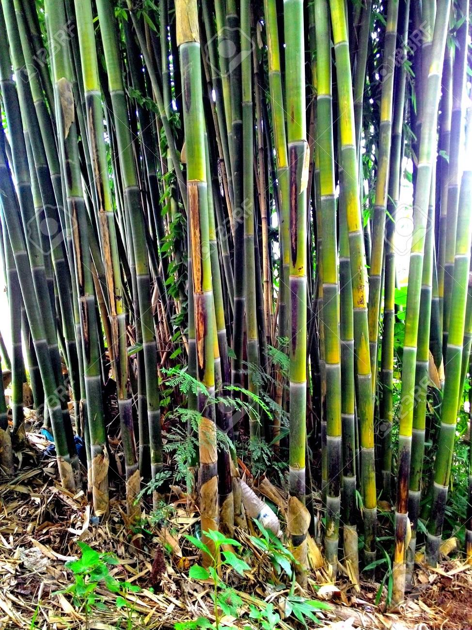 Bambou arbre