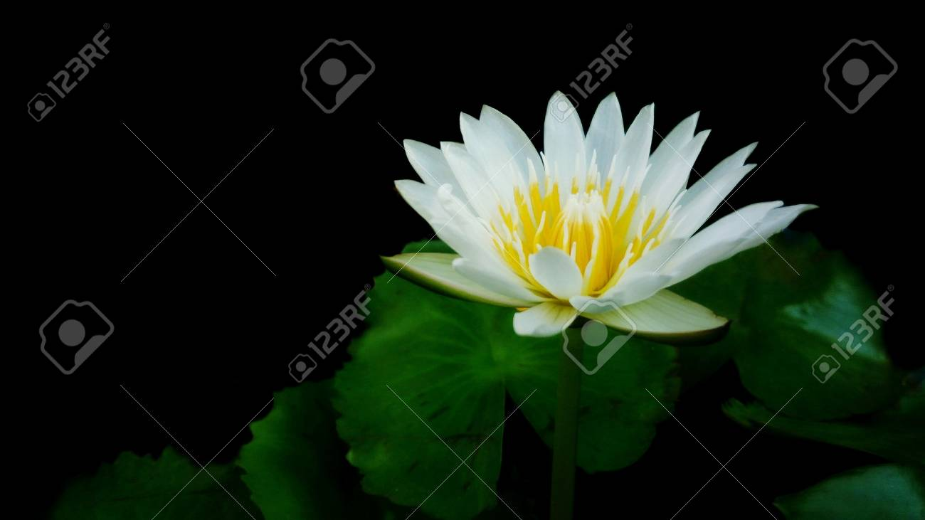 White Lotus Flower With Green Leaves And Black Background Stock
