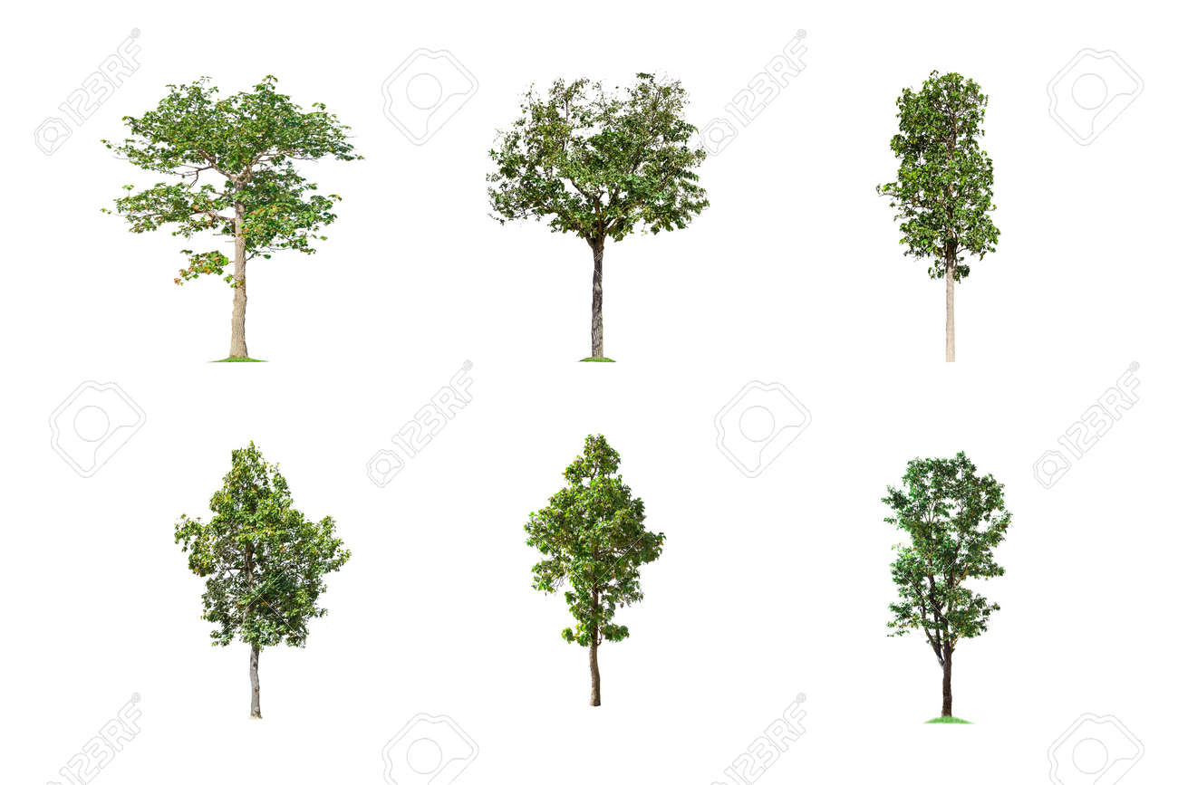 Collection of Isolated Trees on white background, A beautiful trees from Thailand, Suitable for use in architectural design, Decoration work, Used with natural articles both on print and website. - 157871833