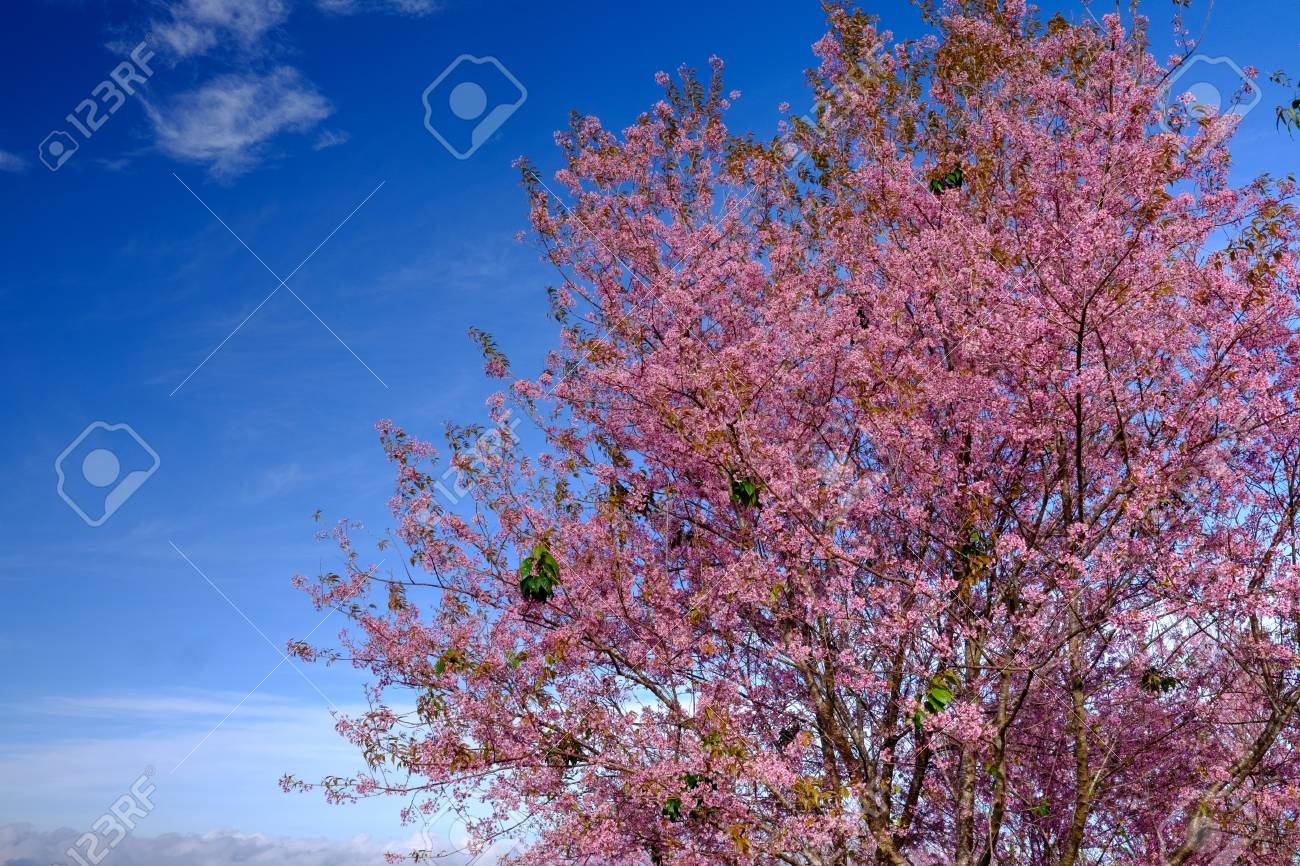 Pink flowers tree with blue sky stock photo picture and royalty pink flowers tree with blue sky stock photo 61023200 izmirmasajfo