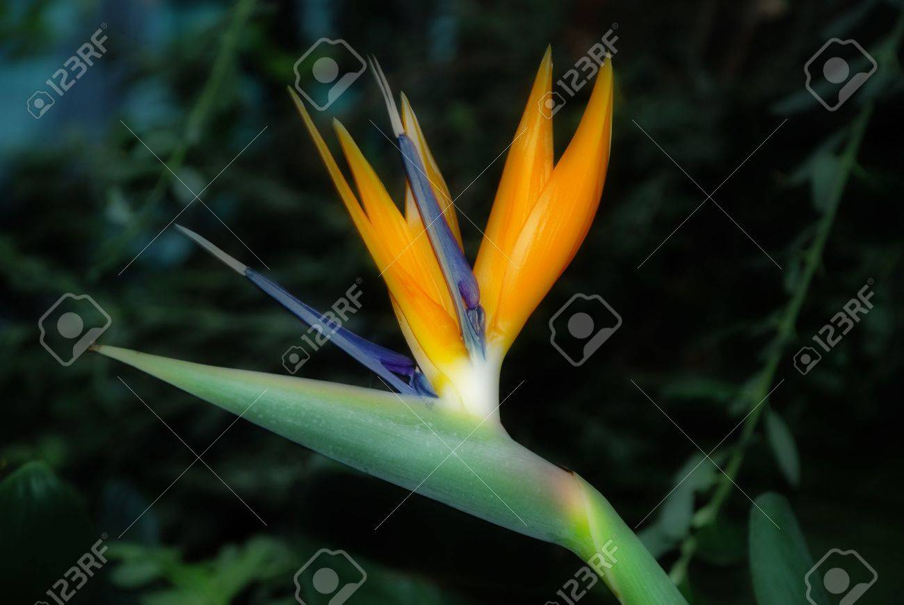 a stunning bird of paradise flower in the winter gardens in