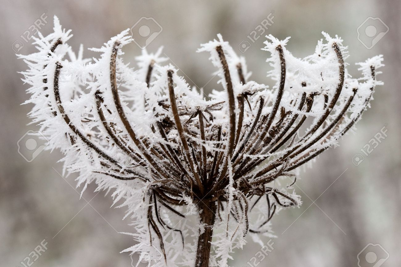 Hoar frost or soft rime on plants at a cold winter day Stock Photo - 5219550