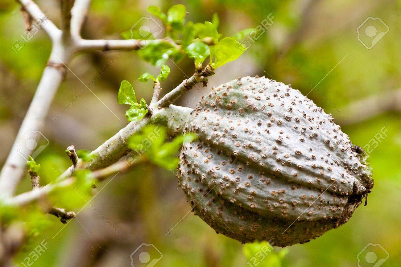 Acacia Tree With Big Grey Fruit Ball Stock Photo Picture And