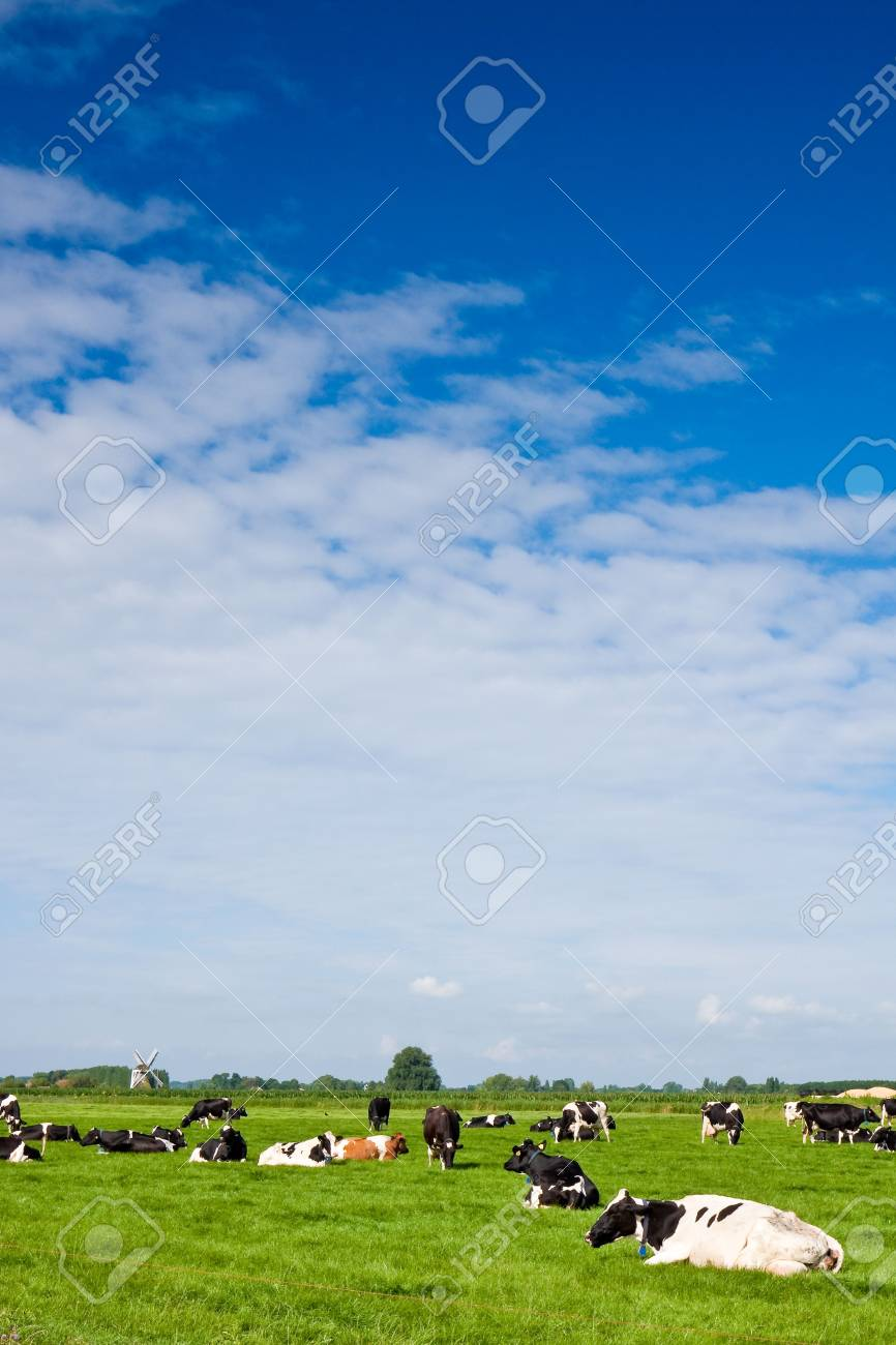 Cows in a grassland in the countryside on a summer day and windmill in the background Stock Photo - 5352186