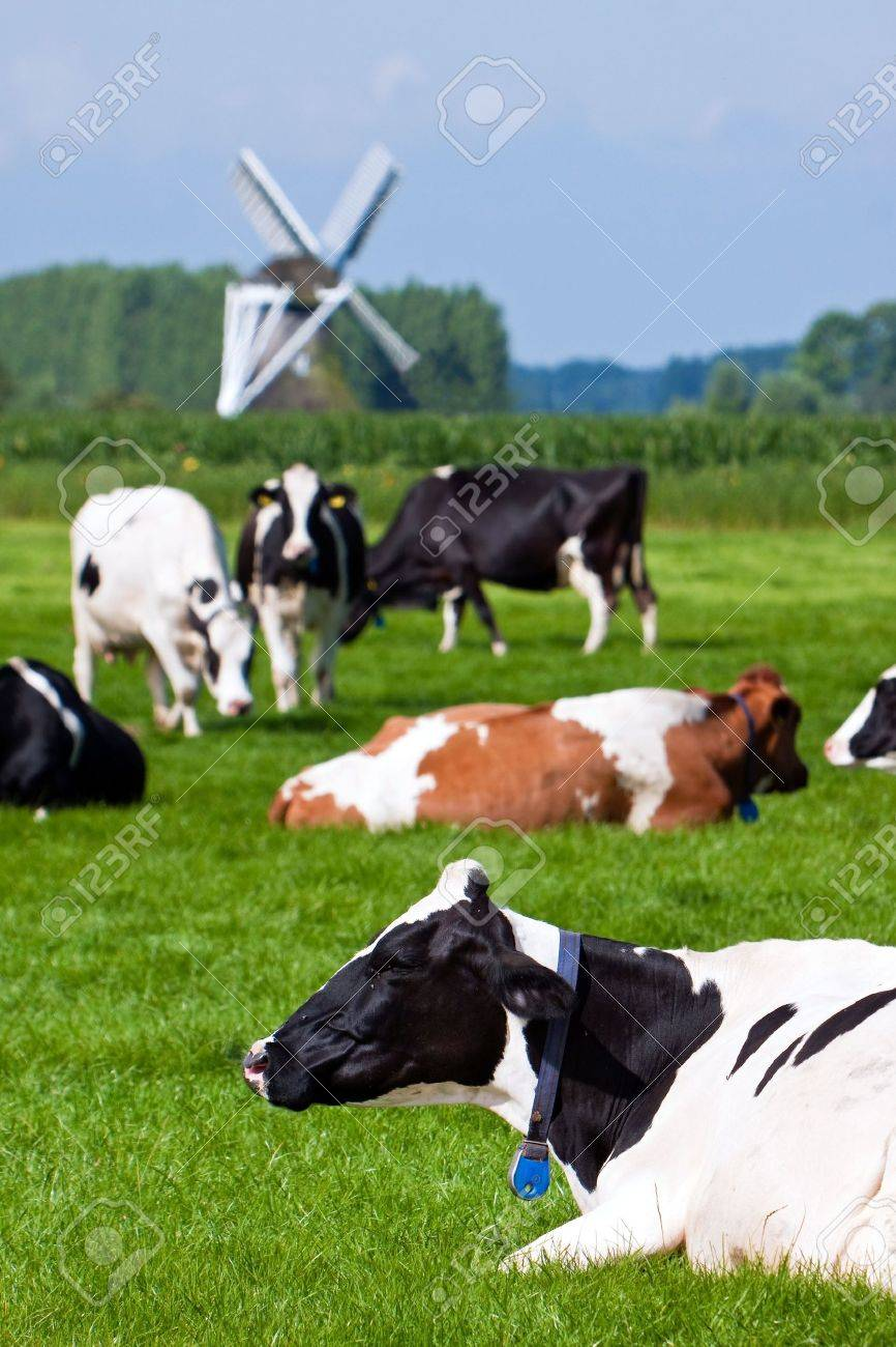 Cows in a grassland in the countryside on a summer day and windmill in the background Stock Photo - 5352181