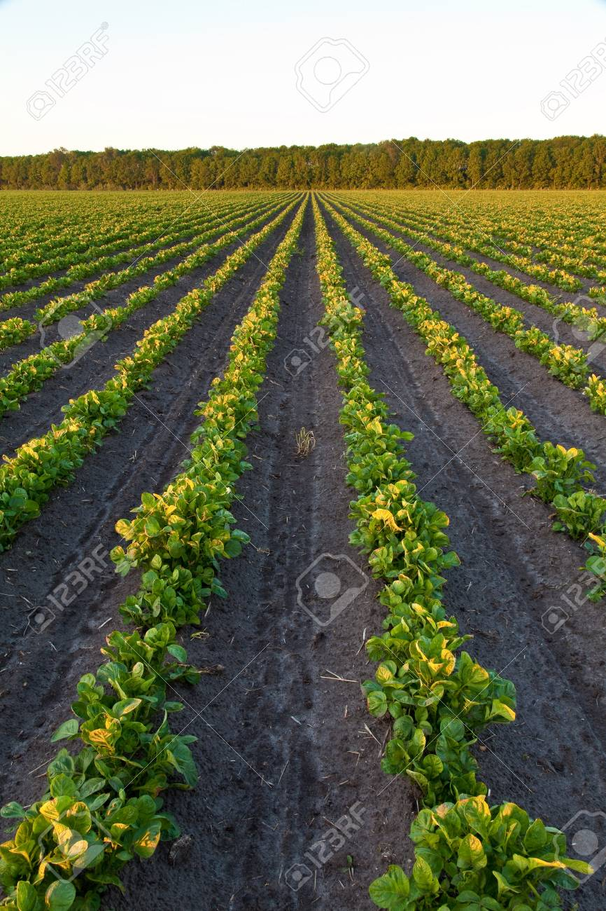 Countryside with potato field and trees at sunset Stock Photo - 7489786