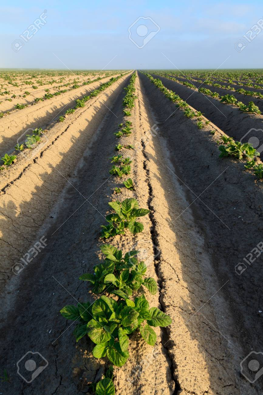Cultivated potato field with morning sun Stock Photo - 7845803