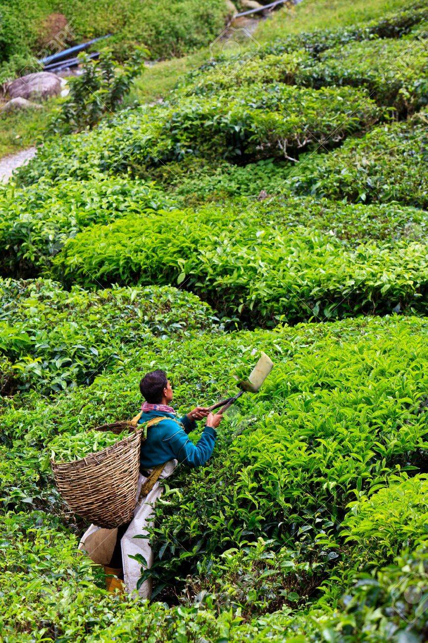 Tea plantation in the Cameron Highlands in Malaysia Stock Photo - 8577940