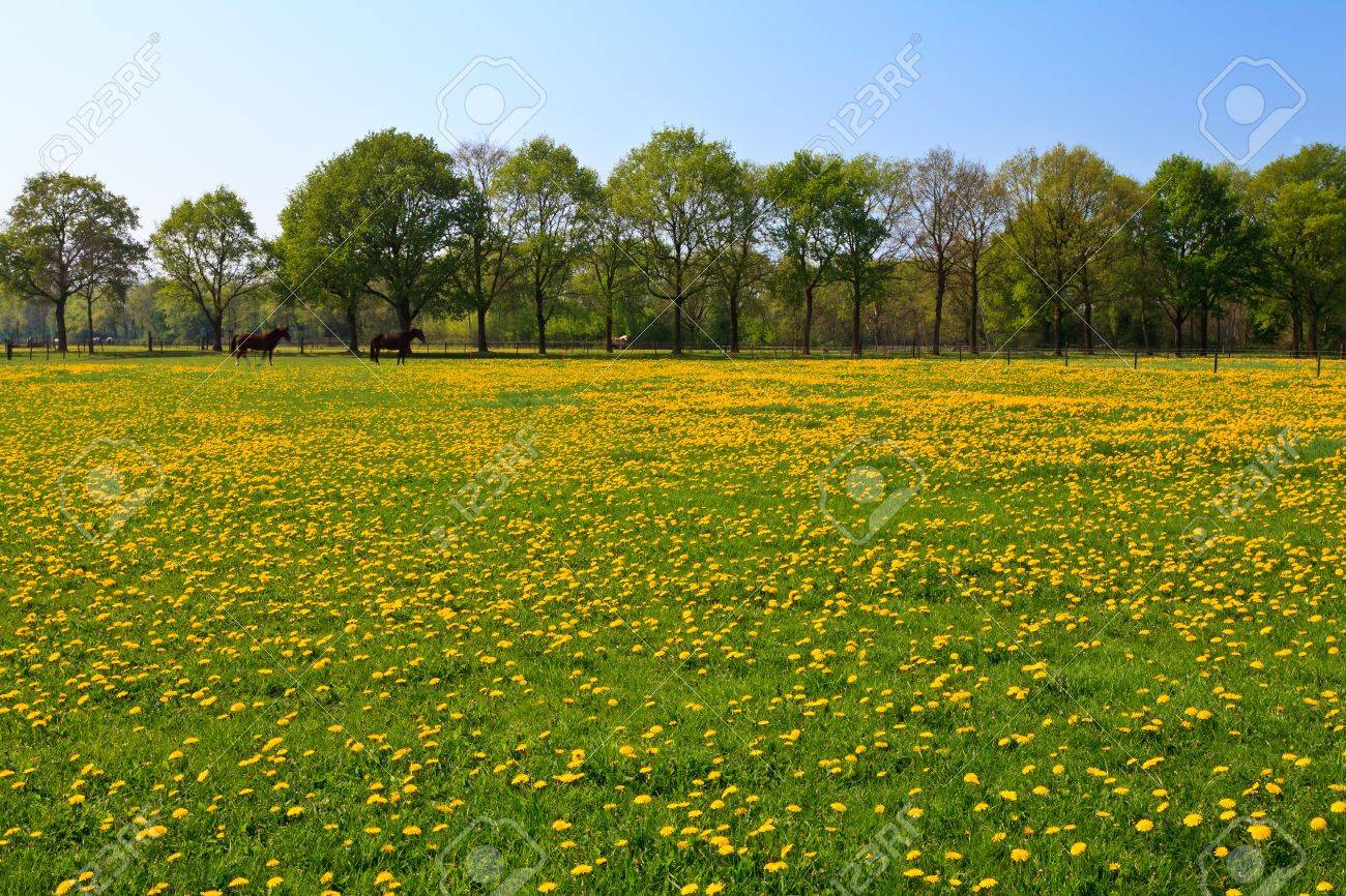 dandelion flower field in bloom with horses on the background stock