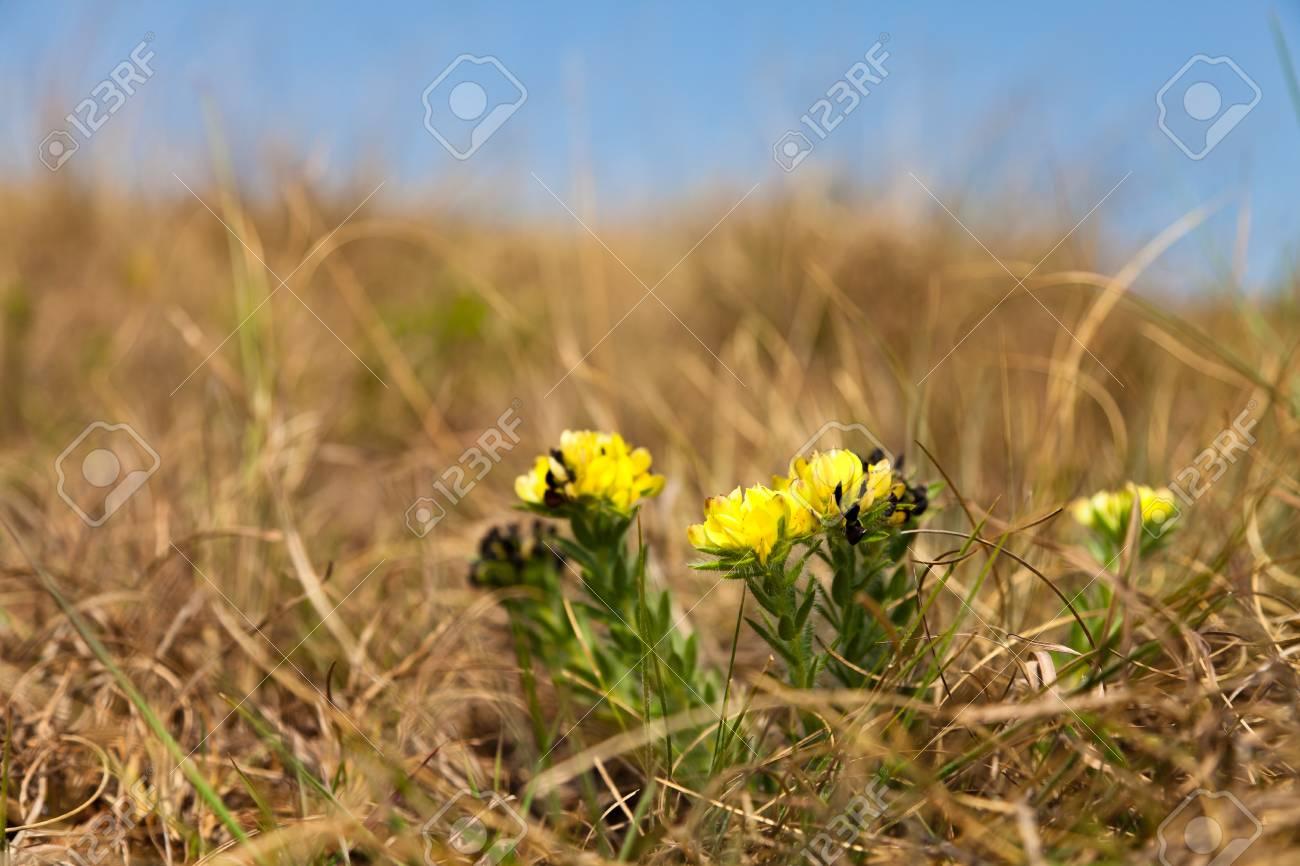 Pequenas Flores Silvestres Amarillas Que Crecen Entre La Hierba