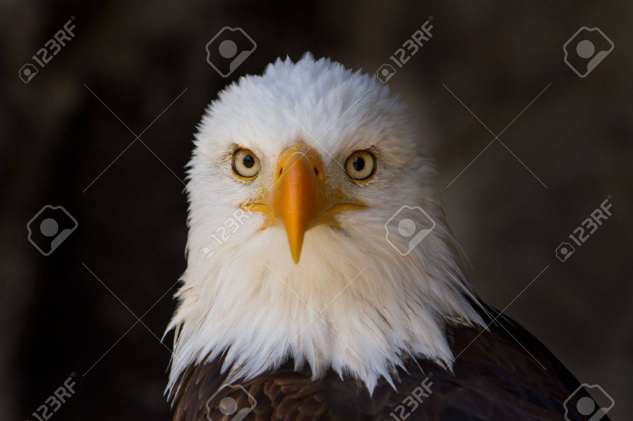 Portrait of a bald eagle close up Stock Photo - 15257068