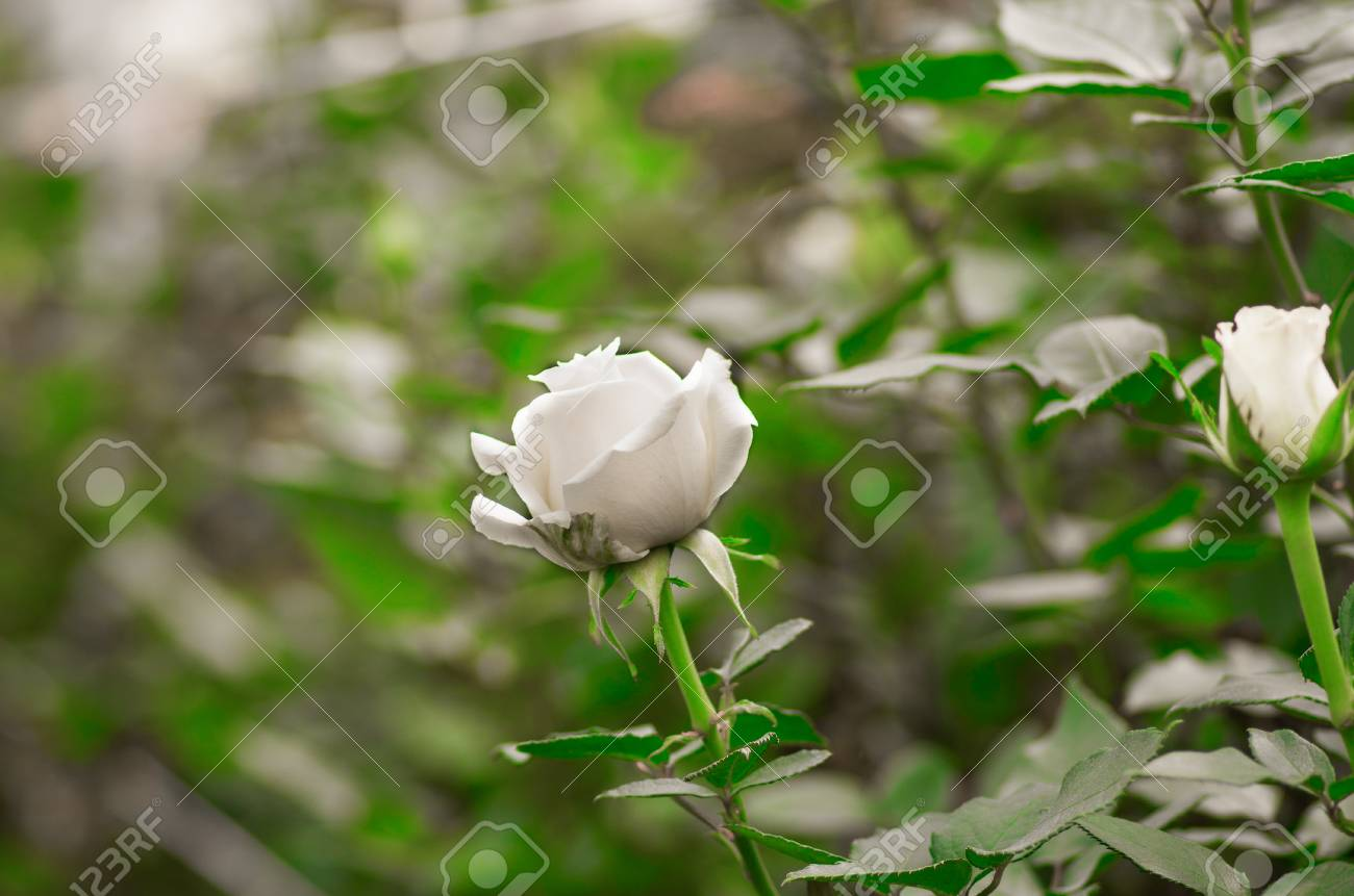 Beautiful Single White Rose Flower In Garden Greenhouse Stock Photo