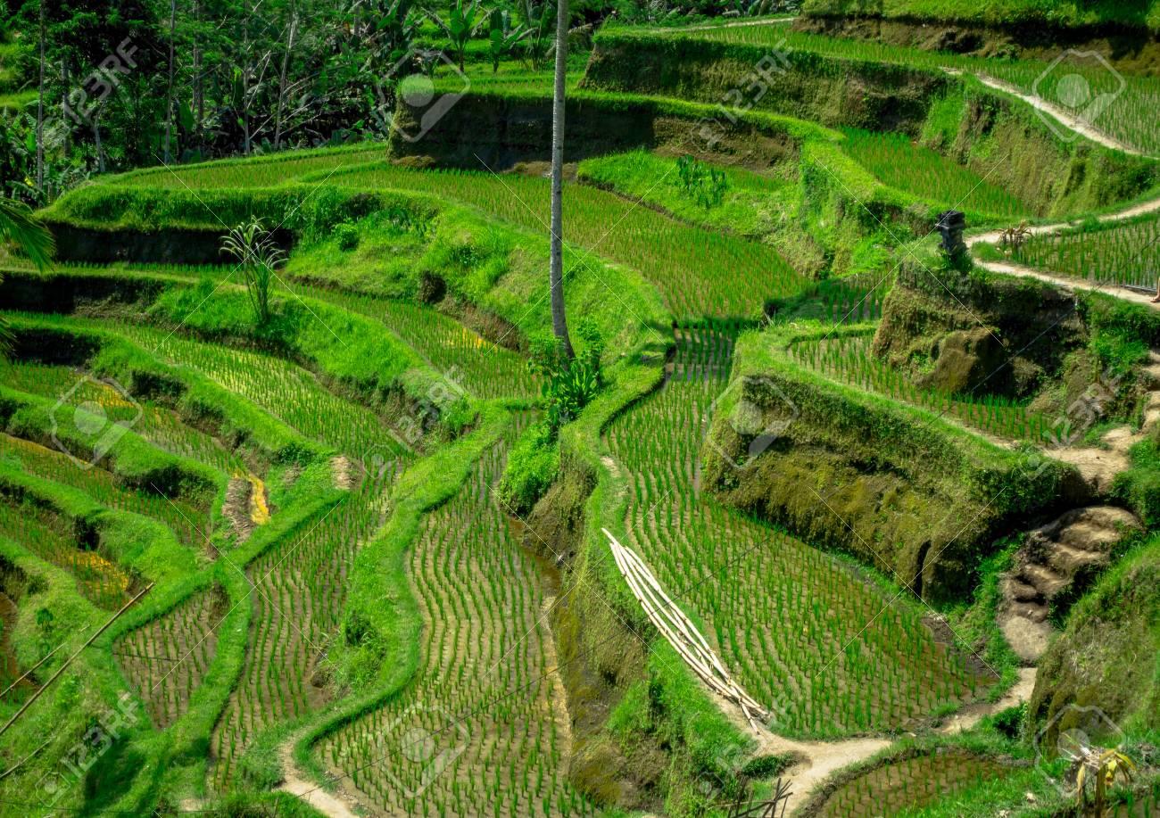 Le Terrazze Di Riso Più Spettacolari E Spettacolari Di Bali Si Possono Vedere Nei Pressi Del Villaggio Di Tegallalang Nell Indonesia Di Ubud