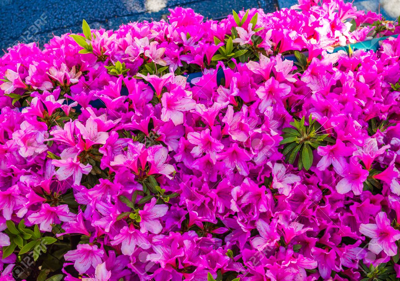 Close up of a beautiful purple spring flowers in japan stock photo close up of a beautiful purple spring flowers in japan stock photo 85540765 mightylinksfo