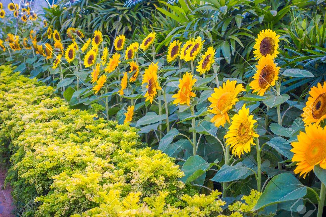 637d1b8c790f9f Close up of Sunflower Garden inside of the Singapore Changi Airport Stock  Photo - 96585896